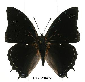 (Charaxes etheocles tan02 - BC-EV0497)  @14 [ ] Unspecified (default): All Rights Reserved  Unspecified Unspecified