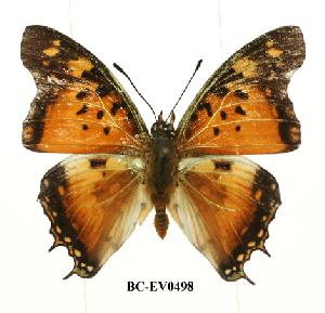 (Charaxes jahlusa rwandensis - BC-EV0498)  @13 [ ] Unspecified (default): All Rights Reserved  Unspecified Unspecified