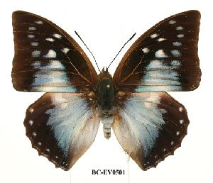 (Charaxes pyhodorus - BC-EV0501)  @14 [ ] Unspecified (default): All Rights Reserved  Unspecified Unspecified