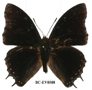 (Charaxes etheocles con02 - BC-EV0508)  @14 [ ] Unspecified (default): All Rights Reserved  Unspecified Unspecified