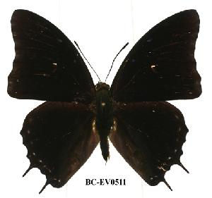 (Charaxes etheocles - BC-EV0511)  @14 [ ] Unspecified (default): All Rights Reserved  Unspecified Unspecified