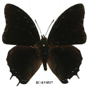 (Charaxes etheocles con03 - BC-EV0517)  @14 [ ] Unspecified (default): All Rights Reserved  Unspecified Unspecified
