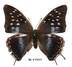 (Charaxes bocqueti - BC-EV0533)  @13 [ ] Unspecified (default): All Rights Reserved  Unspecified Unspecified