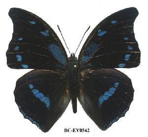 (Charaxes mycerina - BC-EV0542)  @14 [ ] Unspecified (default): All Rights Reserved  Unspecified Unspecified