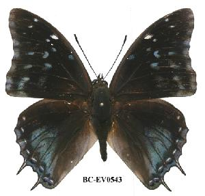 (Charaxes northcotti - BC-EV0543)  @14 [ ] Unspecified (default): All Rights Reserved  Unspecified Unspecified