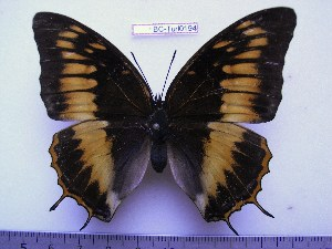 (Charaxes ochracea f.orangina - BC-Turl-0194)  @12 [ ] Unspecified (default): All Rights Reserved  Unspecified Unspecified