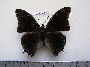 (Charaxes chevroti - BC-Turl-0196)  @14 [ ] Unspecified (default): All Rights Reserved  Unspecified Unspecified