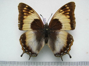 (Charaxes galawadiwosi f.leonardi - BC-Turl-0209)  @14 [ ] Unspecified (default): All Rights Reserved  Unspecified Unspecified