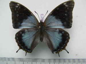 (Charaxes variata f.caerulescens - BC-Turl-0210)  @13 [ ] Unspecified (default): All Rights Reserved  Unspecified Unspecified