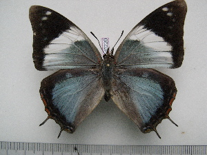 (Charaxes howarthi - BC-Turl-0220)  @15 [ ] Unspecified (default): All Rights Reserved  Unspecified Unspecified