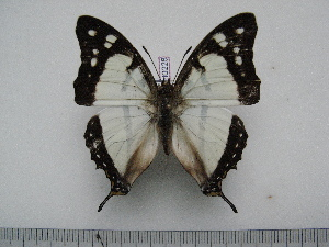 (Charaxes betsimisaraka - BC-Turl-0228)  @14 [ ] Unspecified (default): All Rights Reserved  Unspecified Unspecified
