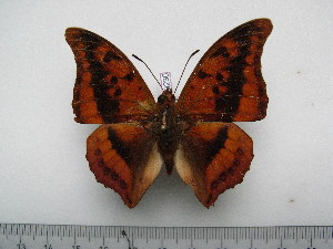 (Charaxes nichetes bouchei - BC-Turl-0230)  @14 [ ] Unspecified (default): All Rights Reserved  Unspecified Unspecified