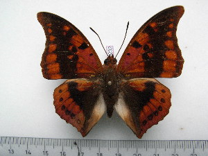 (Charaxes nichetes nichetes - BC-Turl-0232)  @14 [ ] Unspecified (default): All Rights Reserved  Unspecified Unspecified