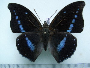 (Charaxes porthos dummeri - BC-Turl-0238)  @13 [ ] Unspecified (default): All Rights Reserved  Unspecified Unspecified