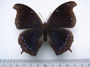 (Charaxes laodice bernardiana - BC-Turl-0242)  @14 [ ] Unspecified (default): All Rights Reserved  Unspecified Unspecified