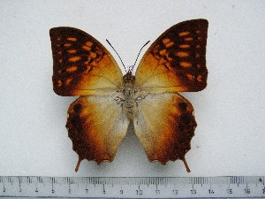 (Charaxes saperanus - BC-Turl-0252)  @13 [ ] Unspecified (default): All Rights Reserved  Unspecified Unspecified