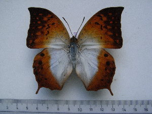 (Charaxes obudoensis - BC-Turl-0261)  @11 [ ] Unspecified (default): All Rights Reserved  Unspecified Unspecified