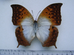 (Charaxes obudoensis - BC-Turl-0262)  @11 [ ] Unspecified (default): All Rights Reserved  Unspecified Unspecified
