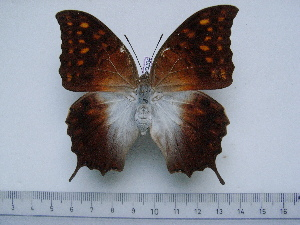 (Charaxes varanes bertrami - BC-Turl-0264)  @14 [ ] Unspecified (default): All Rights Reserved  Unspecified Unspecified
