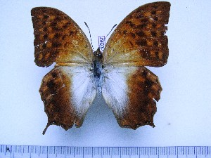 (Charaxes varanes torbeni - BC-Turl-0267)  @11 [ ] Unspecified (default): All Rights Reserved  Unspecified Unspecified