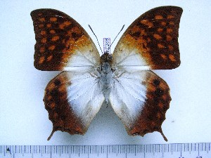 (Charaxes varanes vologeses - BC-Turl-0268)  @13 [ ] Unspecified (default): All Rights Reserved  Unspecified Unspecified
