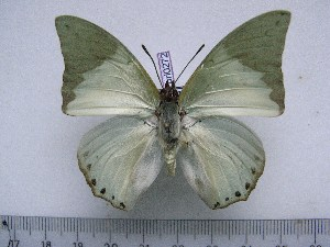(Charaxes eupale latimargo - BC-Turl-0272)  @13 [ ] Unspecified (default): All Rights Reserved  Unspecified Unspecified
