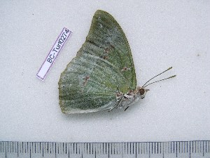 (Charaxes dilutus veneris - BC-Turl-0274)  @12 [ ] Unspecified (default): All Rights Reserved  Unspecified Unspecified
