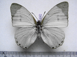 (Charaxes subornatus subornatus - BC-Turl-0281)  @14 [ ] Unspecified (default): All Rights Reserved  Unspecified Unspecified