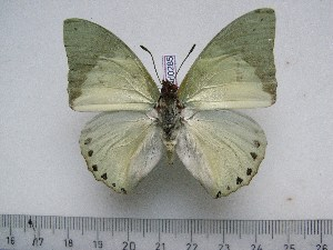 (Charaxes dilutus kasitu - BC-Turl-0285)  @13 [ ] Unspecified (default): All Rights Reserved  Unspecified Unspecified