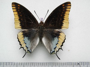 (Charaxes epijasius - BC-Turl-0294)  @14 [ ] Unspecified (default): All Rights Reserved  Unspecified Unspecified