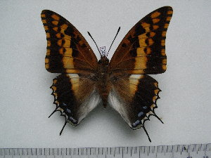 (Charaxes saturnus - BC-Turl-0301)  @13 [ ] Unspecified (default): All Rights Reserved  Unspecified Unspecified