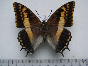 (Charaxes pelias - BC-Turl-0303)  @11 [ ] Unspecified (default): All Rights Reserved  Unspecified Unspecified