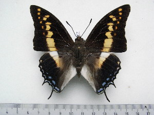 (Charaxes castor flavifasciatus - BC-Turl-0307)  @14 [ ] Unspecified (default): All Rights Reserved  Unspecified Unspecified