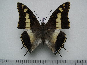 (Charaxes hansali hansali - BC-Turl-0312)  @14 [ ] Unspecified (default): All Rights Reserved  Unspecified Unspecified
