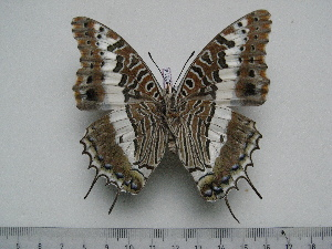 (Charaxes hansali yemeni - BC-Turl-0314)  @11 [ ] Unspecified (default): All Rights Reserved  Unspecified Unspecified