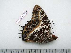 (Charaxes pollux geminus - BC-Turl-0324)  @11 [ ] Unspecified (default): All Rights Reserved  Unspecified Unspecified