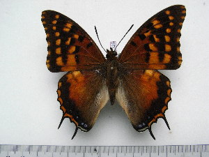 (Charaxes dowsetti - BC-Turl-0328)  @14 [ ] Unspecified (default): All Rights Reserved  Unspecified Unspecified