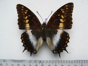 (Charaxes ansorgei levicki - BC-Turl-0330)  @13 [ ] Unspecified (default): All Rights Reserved  Unspecified Unspecified