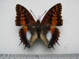 (Charaxes ansorgei rydoni - BC-Turl-0331)  @15 [ ] Unspecified (default): All Rights Reserved  Unspecified Unspecified