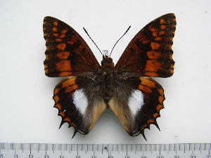 (Charaxes ansorgei simoni - BC-Turl-0332)  @14 [ ] Unspecified (default): All Rights Reserved  Unspecified Unspecified