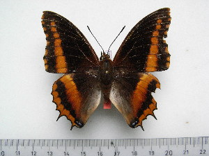 (Charaxes eudoxus goubandana - BC-Turl-0335)  @11 [ ] Unspecified (default): All Rights Reserved  Unspecified Unspecified