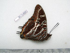 (Charaxes lydiae gabriellae - BC-Turl-0341)  @12 [ ] Unspecified (default): All Rights Reserved  Unspecified Unspecified
