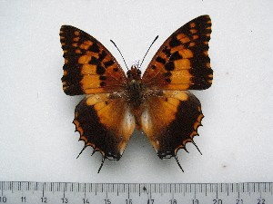 (Charaxes andrefana - BC-Turl-0342)  @14 [ ] Unspecified (default): All Rights Reserved  Unspecified Unspecified