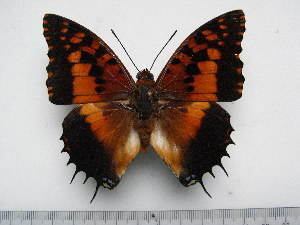 (Charaxes andranodorus - BC-Turl-0343)  @15 [ ] Unspecified (default): All Rights Reserved  Unspecified Unspecified