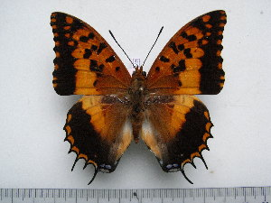 (Charaxes phraortes - BC-Turl-0345)  @14 [ ] Unspecified (default): All Rights Reserved  Unspecified Unspecified