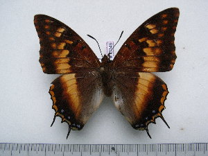 (Charaxes tectonis nebularum - BC-Turl-0349)  @11 [ ] Unspecified (default): All Rights Reserved  Unspecified Unspecified