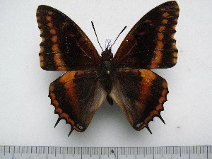 (Charaxes musakensis - BC-Turl-0350)  @14 [ ] Unspecified (default): All Rights Reserved  Unspecified Unspecified
