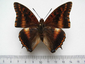 (Charaxes druceanus vivianae - BC-Turl-0356)  @11 [ ] Unspecified (default): All Rights Reserved  Unspecified Unspecified