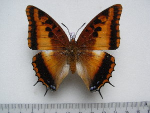 (Charaxes druceanus proximans - BC-Turl-0357)  @14 [ ] Unspecified (default): All Rights Reserved  Unspecified Unspecified