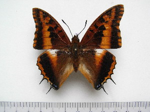 (Charaxes drucaenus teita - BC-Turl-0358)  @14 [ ] Unspecified (default): All Rights Reserved  Unspecified Unspecified